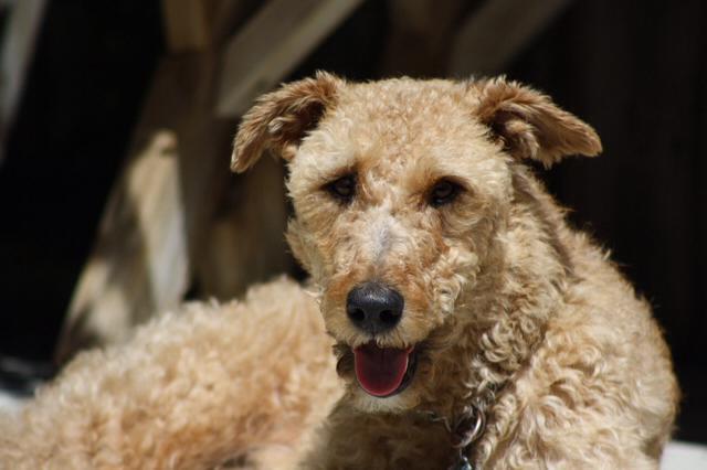 Max the Irish Terrier