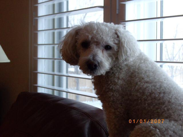 and Turbo a Bichon Frise