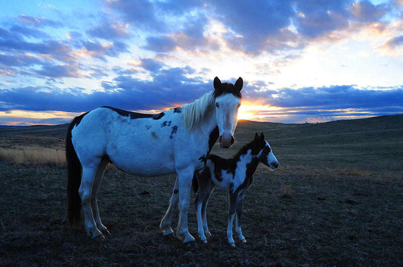 Pinto Spanish Mustang  mare and her days-old foal in the late day sunshine on the Cayuse Ranch.  The white in their coats reflects the blue of the eastern sky.  Notice the low set tail and smaller real muscles on this pretty, sturdy little mare.