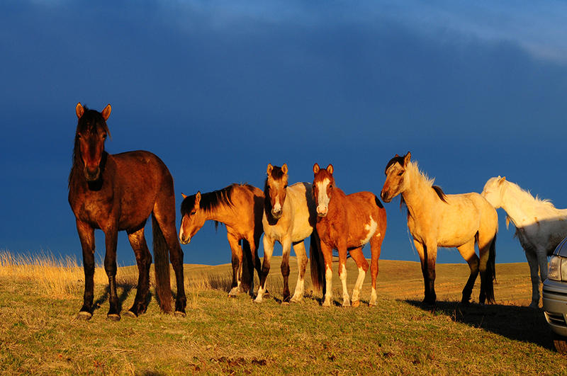 Six Spanish Mustang yearlings lit by the early morning sunlight on the Cayuse Ranch, checking me out as I photograph them.
