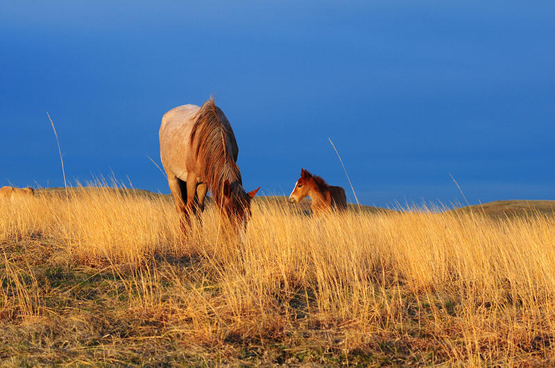 A Spanish Mustang mare and her very young foal lit by early morning sunlight on the Cayuse Ranch.