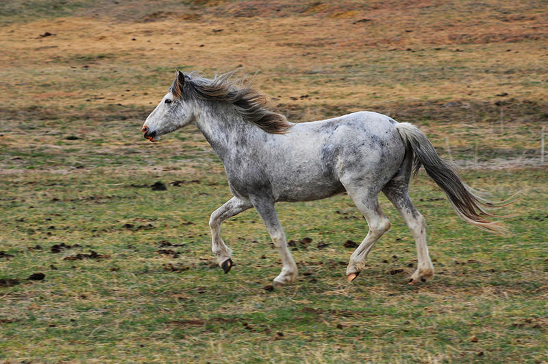 A grey speckled Spanish Mustang mare runs on the Cayuse Ranch.