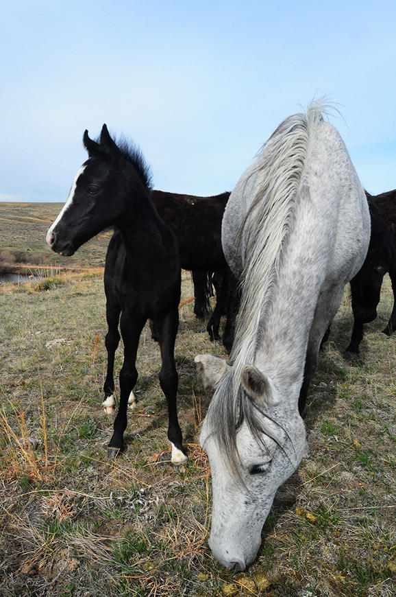 A grey Spanish Mustang mare and her foal on the Star Flower Ranch.