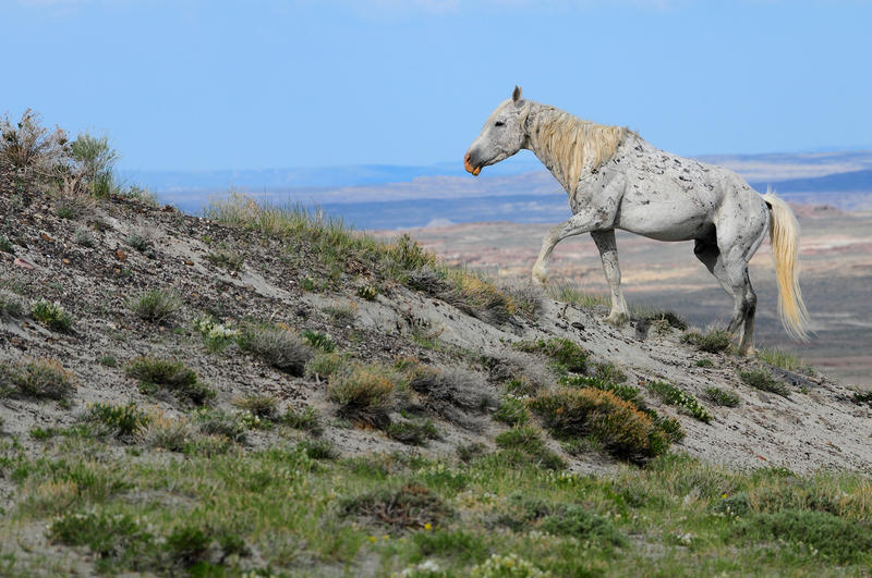 A lone wild horse stallion coming out of the Adobe Town Bad Lands and onto the Adobe Town Rim.