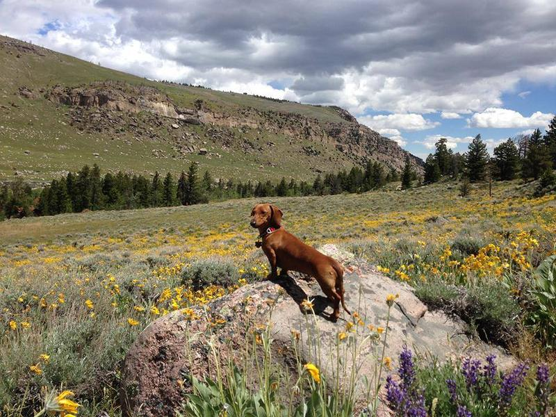 Ashik takes a break from listening to WPM to explore Sinks Canyon! She's a well educated dachshund puppy, thanks to listening almost every day. Following in her big sister's pawsteps, she's going to make a pledge to her favorite radio station.