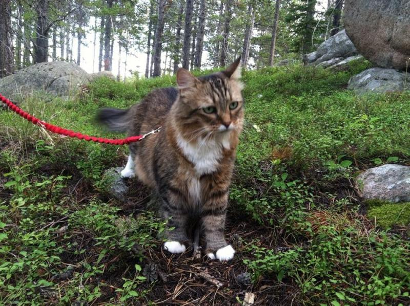 Moose is a true Wyoming cat, on the hunt for huckleberries.
