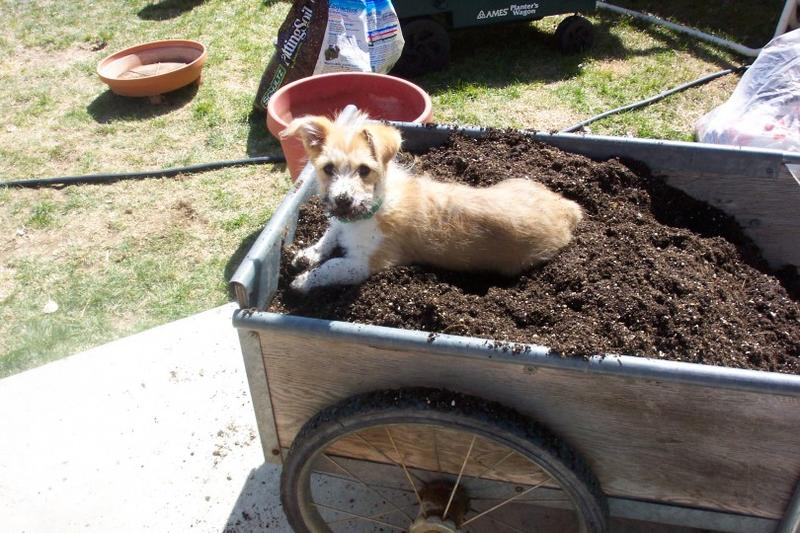 Lucy preparing for her Wyoming garden.