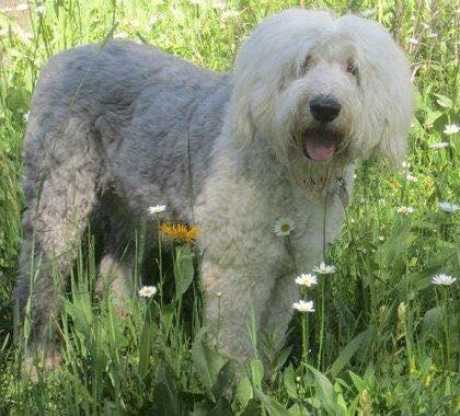 Bentley our Old English Sheepdog.