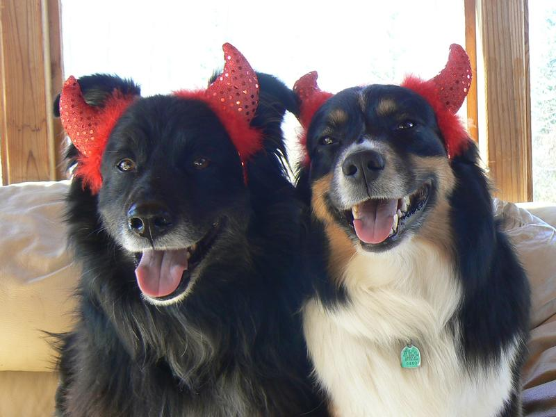 My little devils, Precious & Boo, listen to WPR 24/7..... and so do my sheep!!!! Darcy Gardiner TEEWINOT Australian Shepherds (former employee)