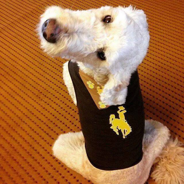 Our Goldendoodle Crockett for Pet Wednesday. Go Pokes!