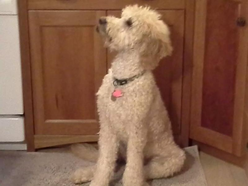Maxwell the Goldendoodle listens to WPR every morning and when he's home alone.