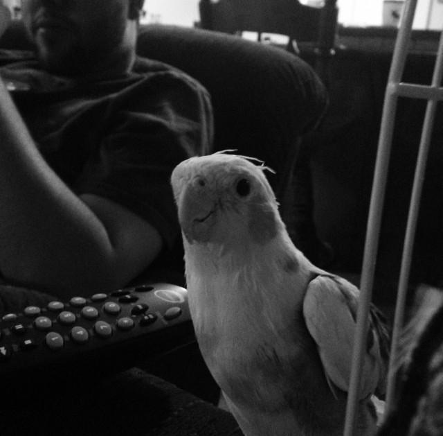 For Pet Wednesday I always honor my dog, but forget about this little guy. Samson the cockatiel! Loves WPR.