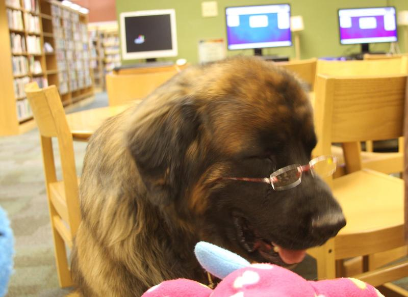 This is Jack, a Leonberger, who acts as a therapy dog at the Albany County Public Library.
