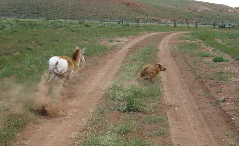 Our dog Zip was no match for a mama antelope. He was scared, but fine. Happy Pet Wednesday!
