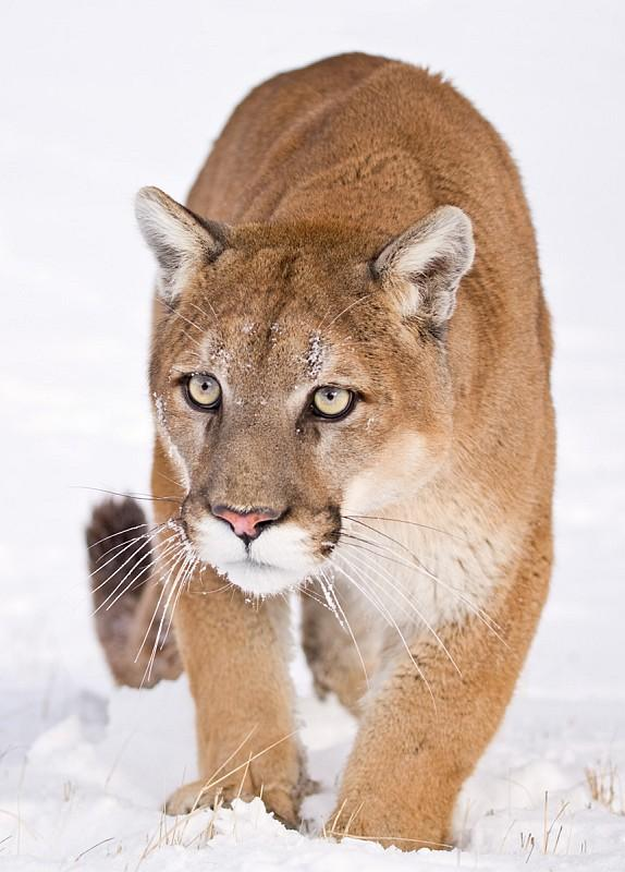 Bill Would Legalize Mountain Lion Trapping Wyoming Public Media