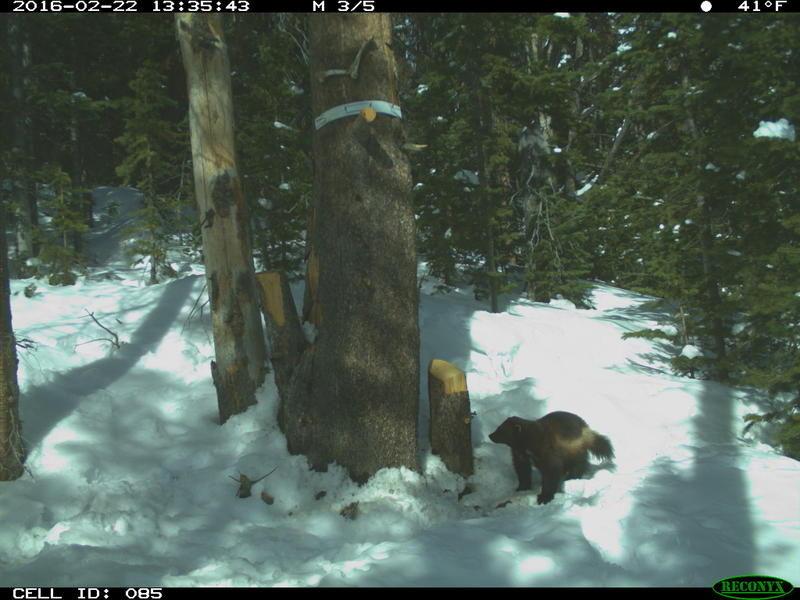 Wolverines an ice age animal in a warming era wyoming for Game and fish wy