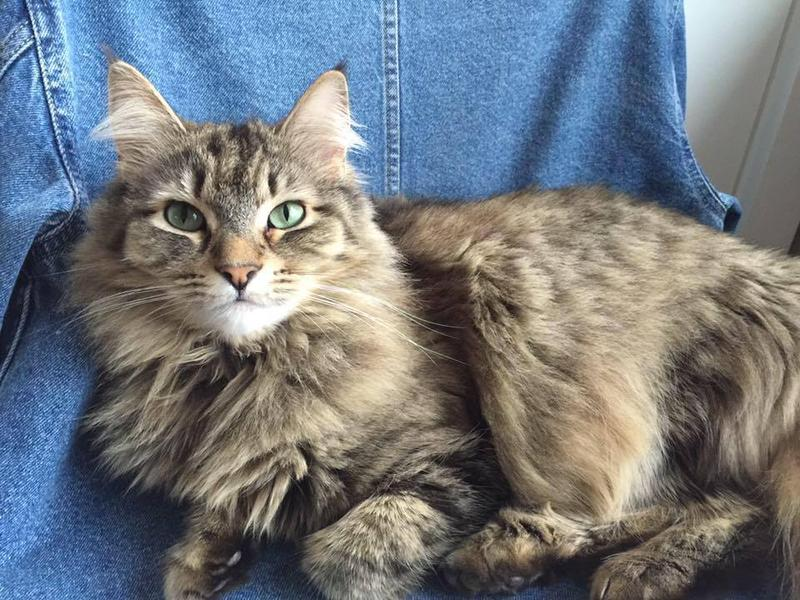 "#‎WPRpets‬ Moon the Maine Coon Cat says ""Donate to Wyoming Public Media and Wyoming Public Radio today, so Bob Beck can keep digging up news!"