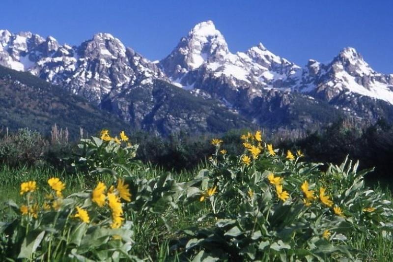 Arrowleaf Balsamroot Flowers with Teton Range