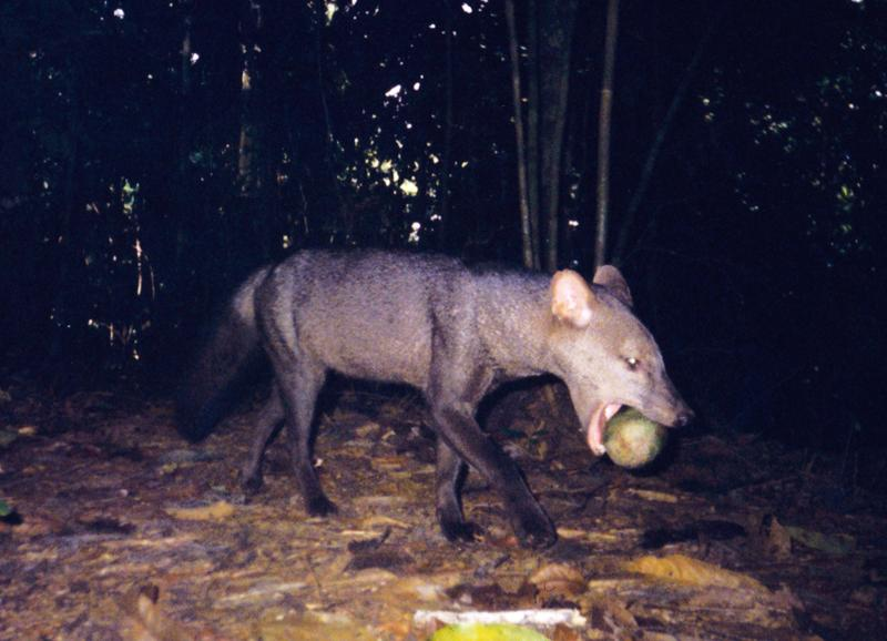 The short-eared dog of the Amazon preys on small mammals but, as shown by this photo, also takes advantage of ripe fruit when it's available.