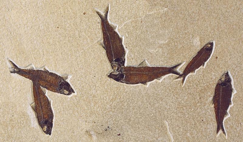 Knightia Eocaena