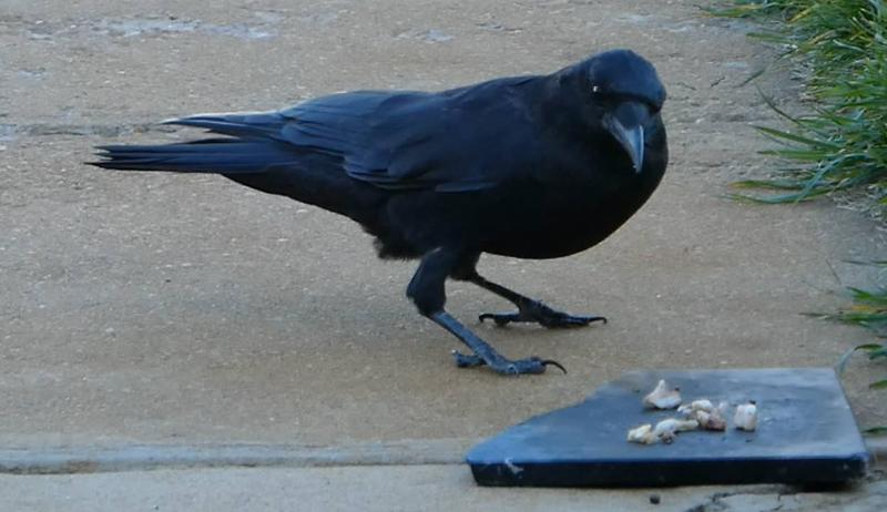 "My only Pet is my Pseudo-Pet ""The Mommy Crow."" I've been feeding her for 4 or 5 years. She has been a great Mom over those years and I've shot video of her throughout the years."