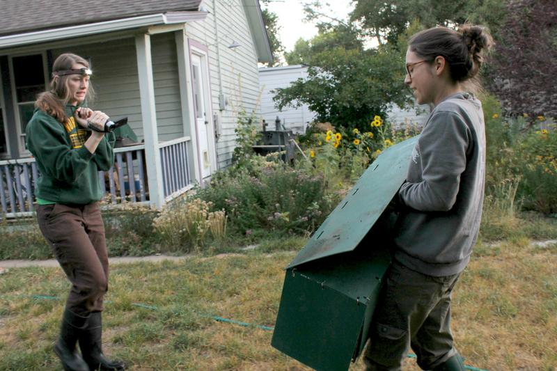 Undergraduate student Emily Davis tapes Rachel Fanelli as she retrieves a trapped raccoon.