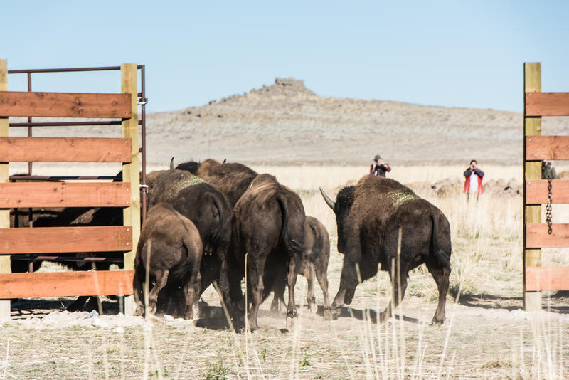 It took some prompting and flapping jackets, but finally the young bison all found the way onto their new pasture.