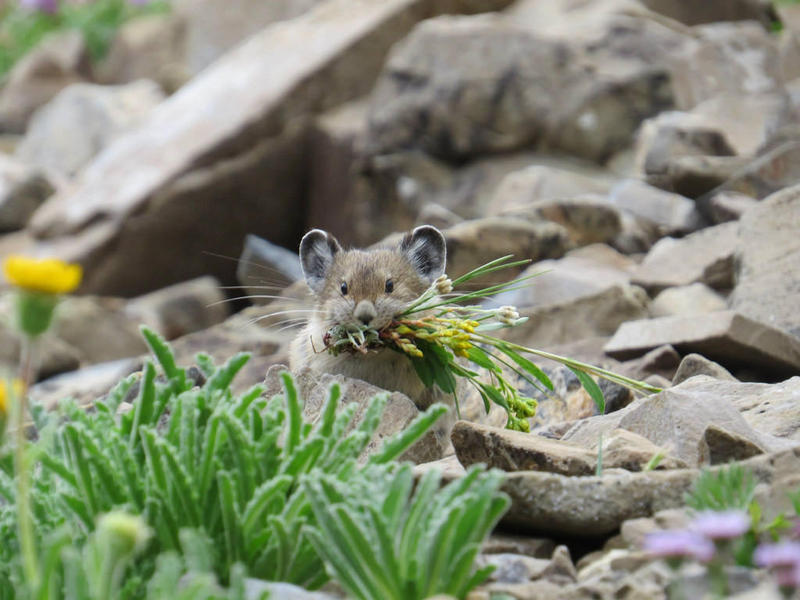 An American pika carrying some of its harvest back to its nest to store for the winter.