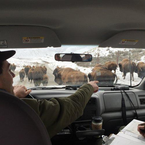 Find out why hundreds of Yellowstone bison are slaughtered each year, on this episode of Threshold.