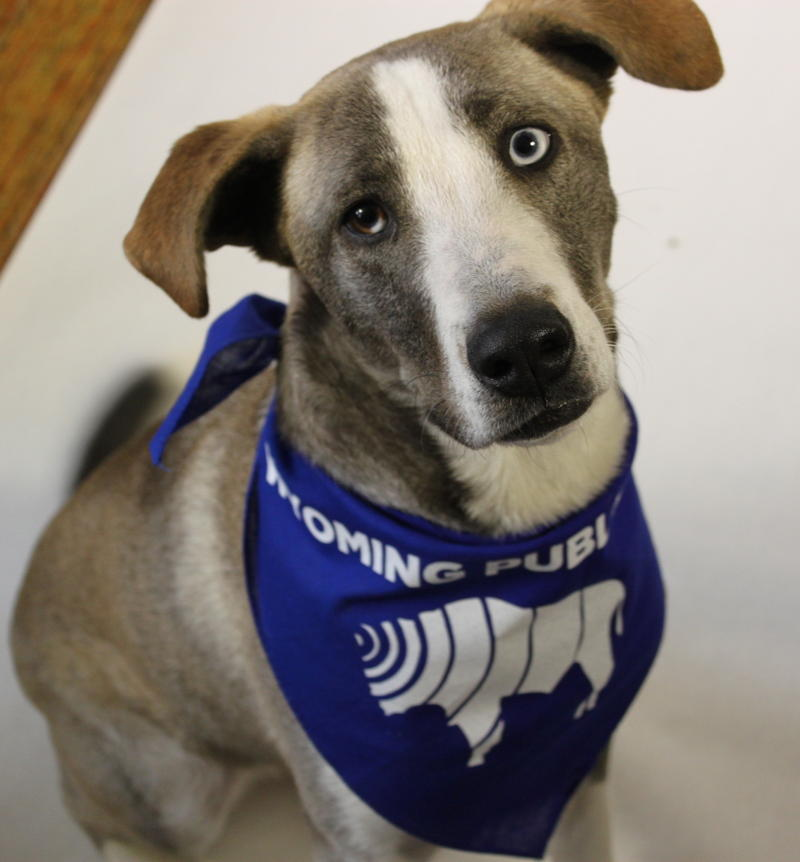 Our education reporter, Tennessee Watson's dog Murray, sporting our Wyoming Public Radio pet bandana.