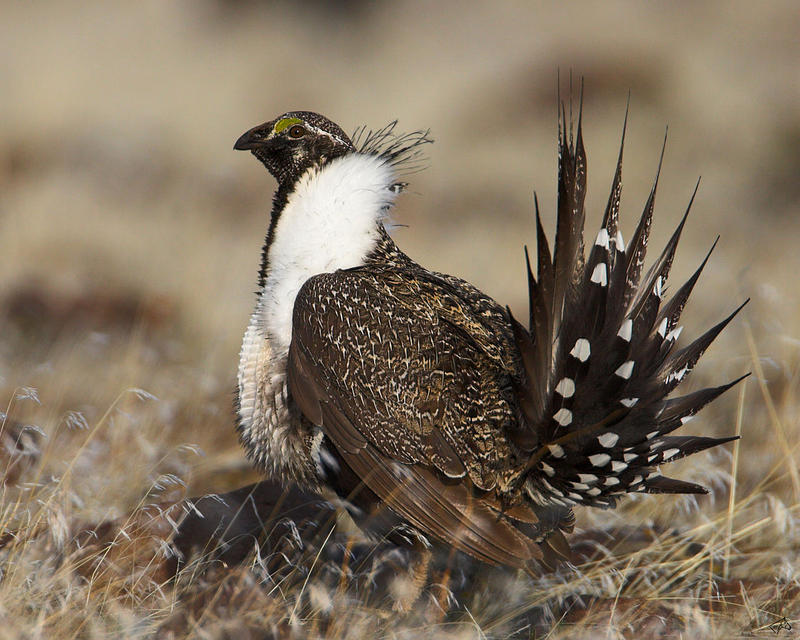 A male Sage Grouse (also known as the Greater Sage Grouse) in the USA