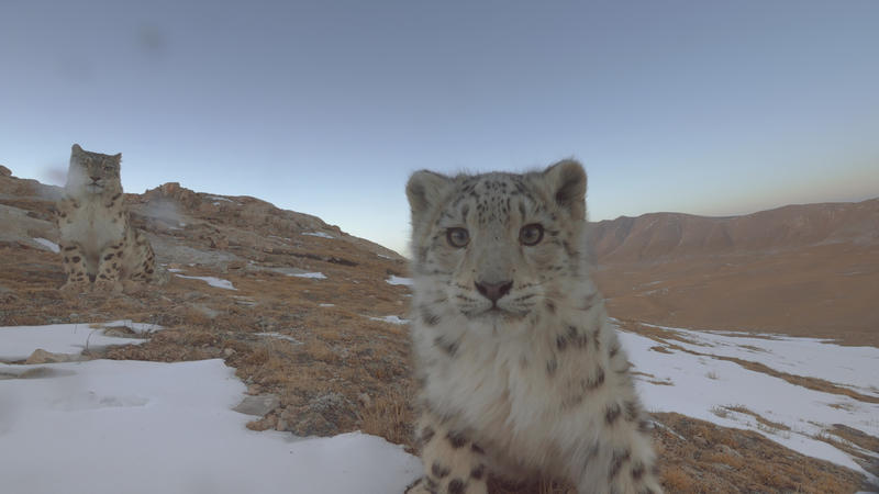 The young cat up close to the lens with another behind it is also from Ghost of the Mountains
