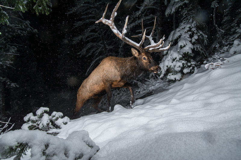Bull elk migrating out of Yellowstone National Park into the lower elevation ranch lands for the winter. It's massive antlers catch snow as its brushes by trees. This photo was made with a motion triggered camera trap. Joe Riis has dedicated a decade of f