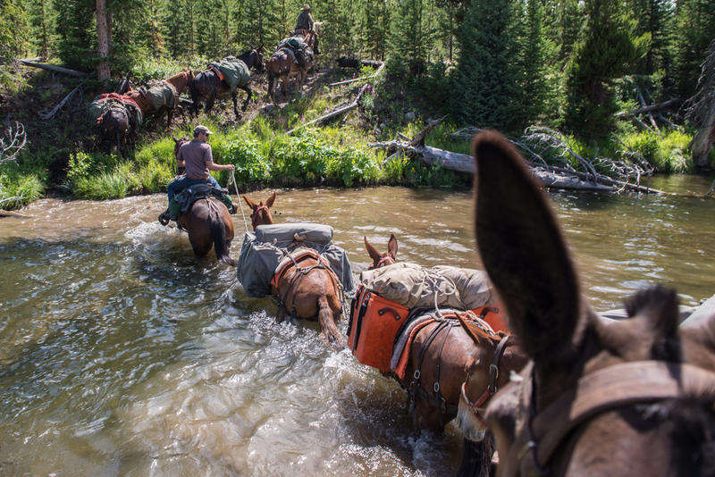 In search of the elk summering grounds; backcountry guide Wes Livingston, elk researcher Arthur Middleton, and photographer Joe Riis and their horses/mules navigate a small pond in the headwaters region of the Yellowstone River.