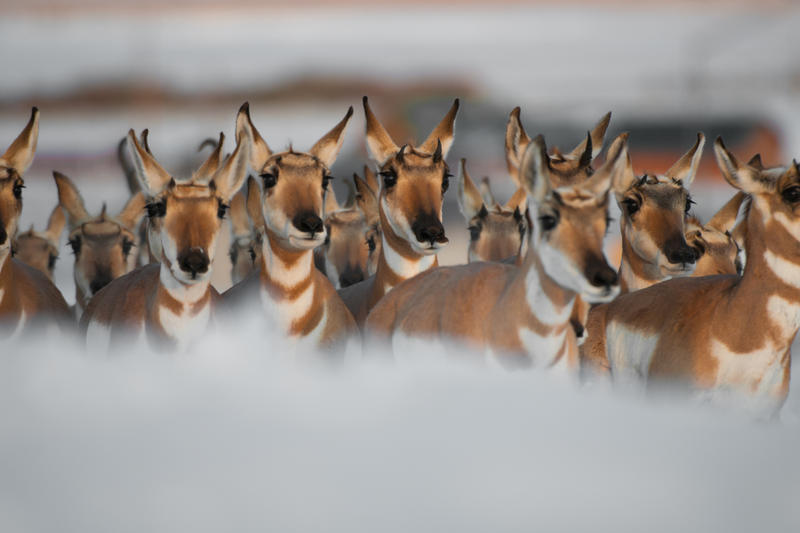 A band of pronghorn antelope, primarily female does with a few male bucks in the back, migrate south for the winter in western Wyoming. Pronghorn antelope are the only endemic ungulate in North America.