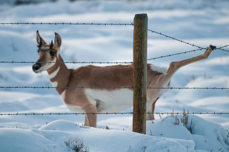 A pronghorn caught in a fence on her annual migration. This fence has a barbed bottom wire a few inches off the ground, forcing this doe pronghorn to jump the fence, and got its wrist tangled in the top two wires, a common way for pronghorn to die. Luckil