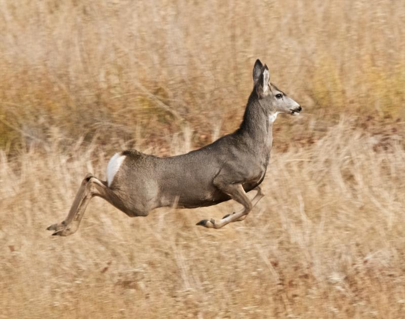 Stotting mule deer. Seen at Pahranagat National Wildlife Refuge, Nevada.