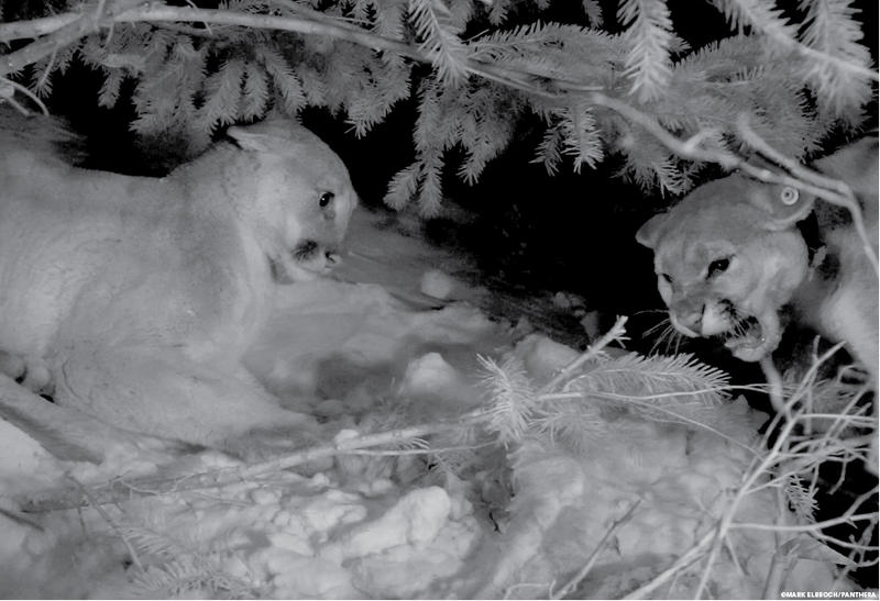 Two females hissing over a kill made