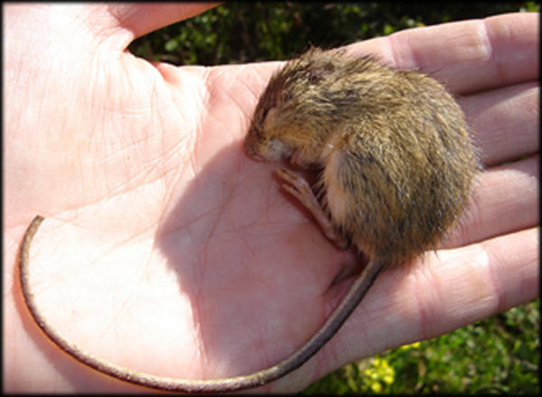 This largely nocturnal mouse lives primarily in heavily vegetated, shrub dominated riparian (streamside) habitats and immediately adjacent upland habitats along the foothills of southeastern Wyoming south to Colorado Springs along the eastern edge of the