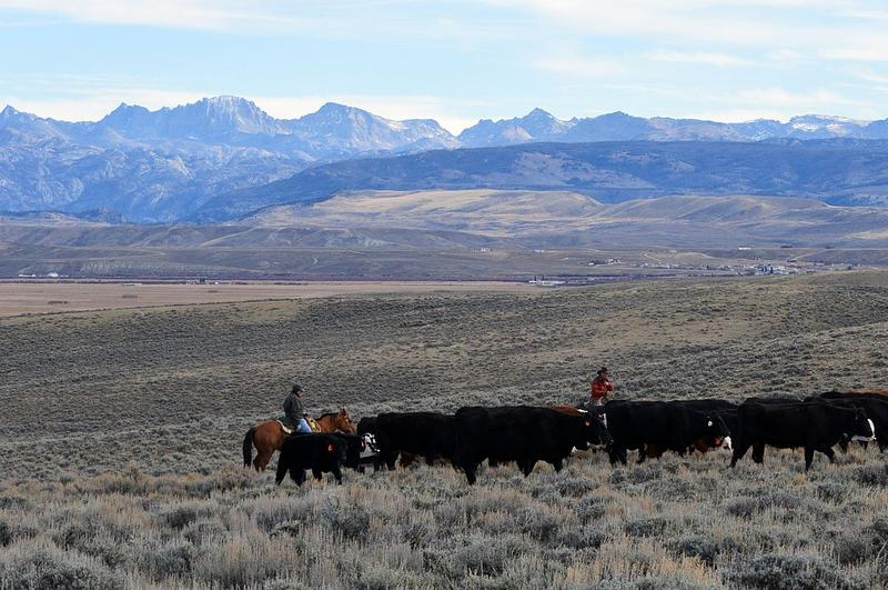 Cattle Drive Near Pinedale, WY