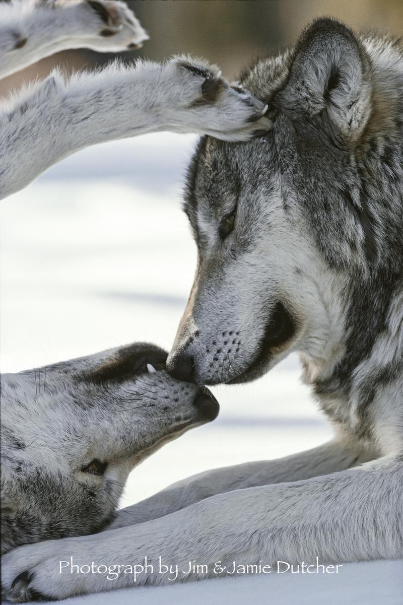 Matsi and alpha male Kamots exhibiting how wolves show affection.