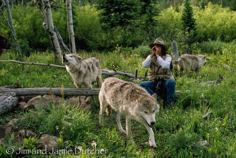 Jamie Dutcher howling with brothers Wahots and Weaken.