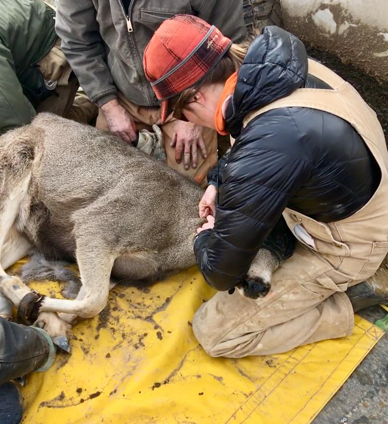 Research scientist Sam Dwinnell puts a new collar on a Wyoming Range mule deer.