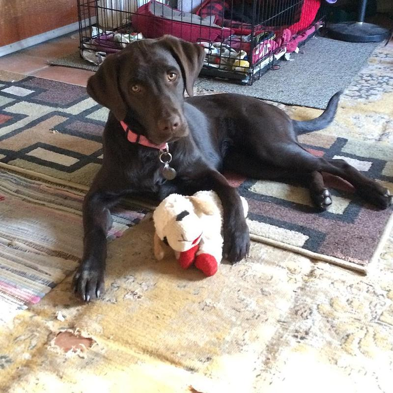 Willow the Chocolate Labrador says my mom is donating for me on Pet Wednesday at Wyoming Public Radio!