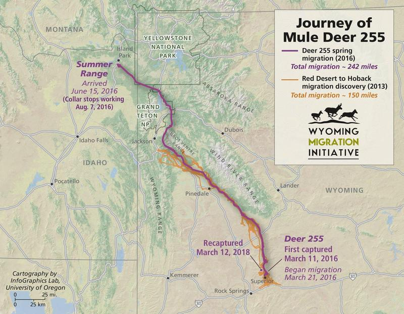 The doe traveled 92 miles farther than the longest mule deer migration route known.