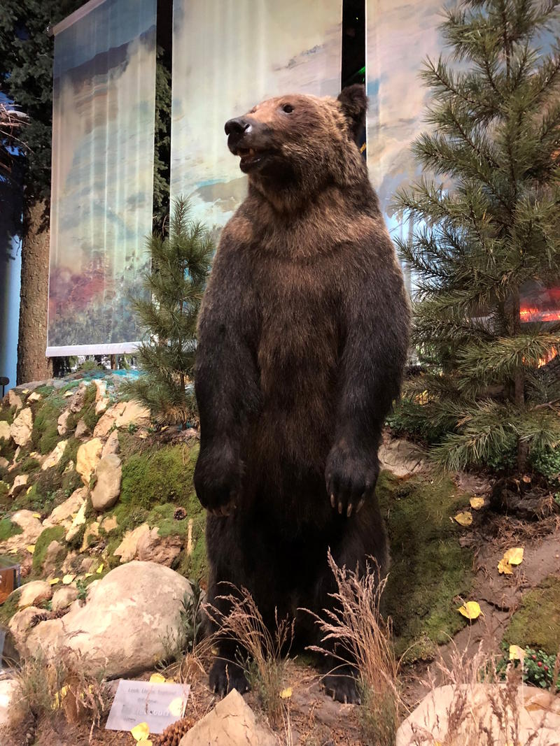 Bear 104 at the Draper Natural History Museum at the Buffalo Bill Center of the West.
