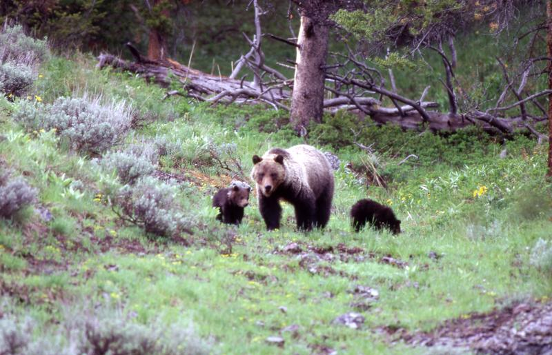 Bear 104 spotted with her cubs.