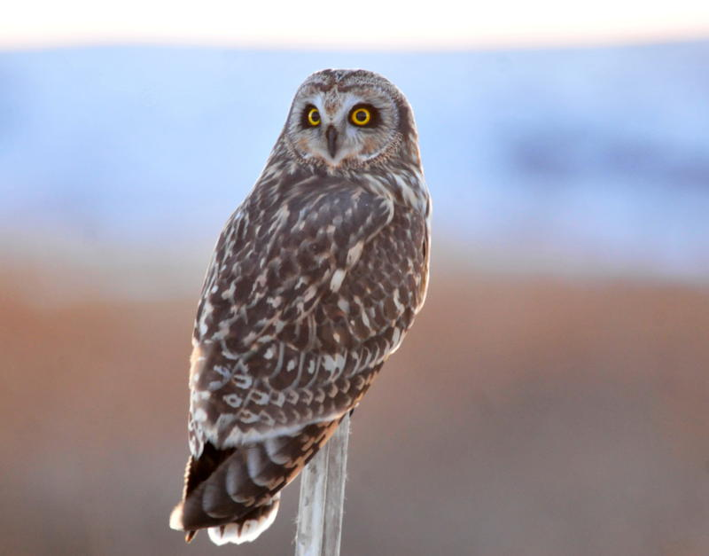 A short eared owl perches at Seedskadee National Wildlife Refuge.