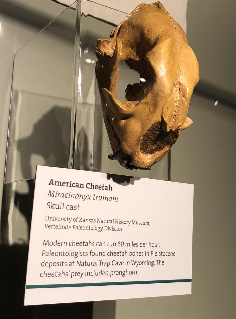 American cheetah, Miracinonyx trumani, Skull cast. Modern cheetahs can run 60 miles per hour. Paleontologists found cheetah bones in Pelistocene deposits at Natural Trap Cave in Wyoming. The cheetahs' prey included pronghorn.