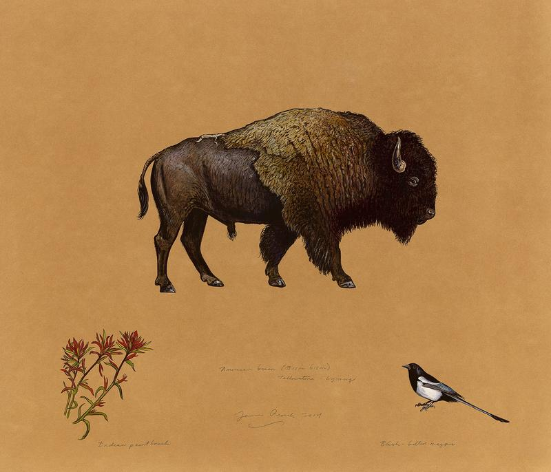 James Prosek (b. 1976). American Bison, 2014. Watercolor and gouache on paper, colored pencil. Buffalo Bill Center of the West, Cody, Wyoming, USA. William E. Weiss Memorial Fund Purchase. 3.16.2